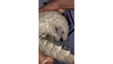 No pangolins, no grass