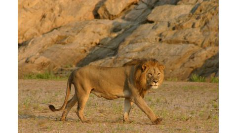Lion conflict plan introduced