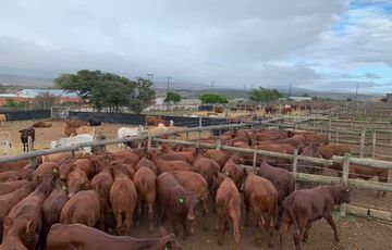 Cattle And Calves At Workable Prices - Call/Whatsapp: +27810876009