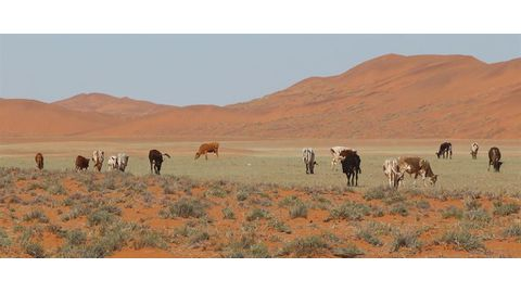 GPS collars to track Namib cattle