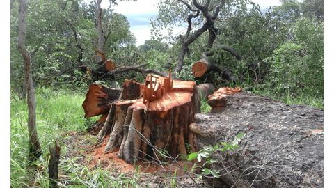 500 timber harvesters need clearance