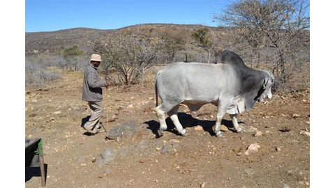 Nguvauva receives bull from Meatco