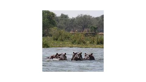 60  hippos found dead in Zambezi