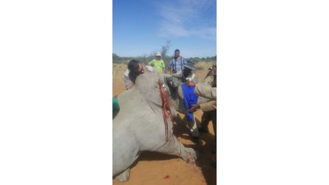 Rhino wounded by poachers dies