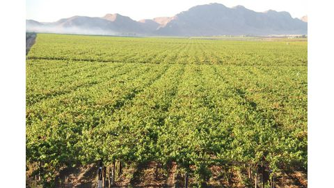 Project's grape exports drops by 31%