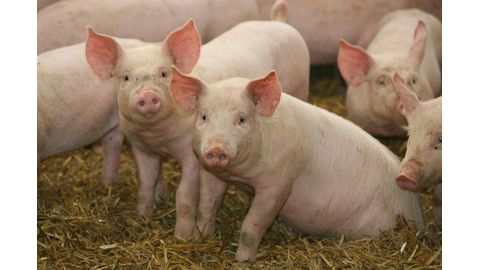 Listeriosis impacted pig producers
