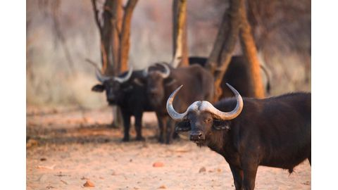 Fight on for buffalo farming