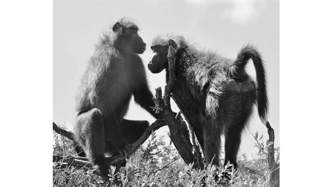 Baboon working group tackles conflict