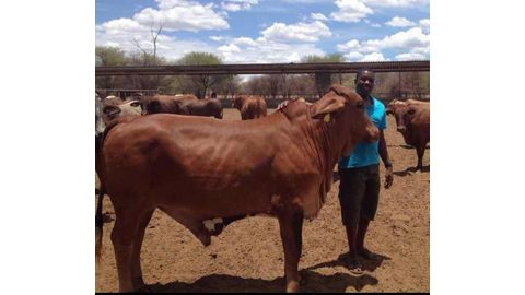 Keeping cattle healthy