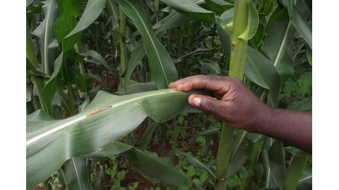 Zambia prepares for armyworm