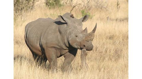 Rhino poacher crushed by elephant, devoured by lions in SA