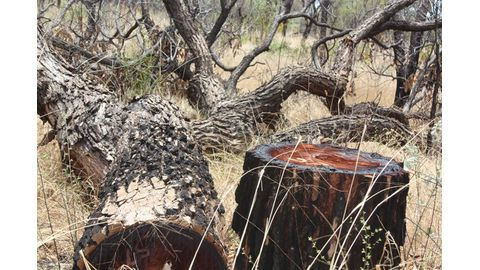 Tree harvesters cry foul
