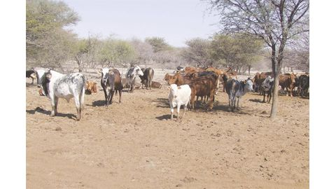 More cattle sold in NCA