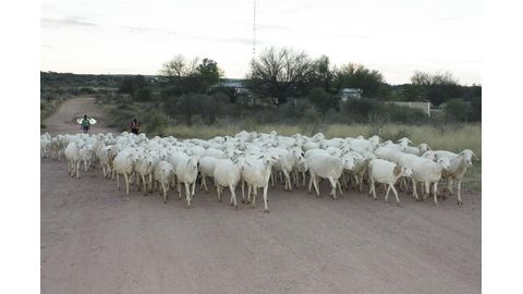 Cabinet to review sheep marketing