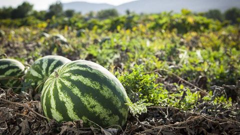 Rape suspect lures teen with watermelon