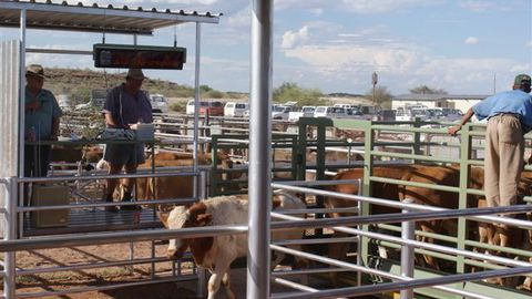 Drought takes toll on auctions