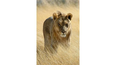 Lions are now livestock in SA