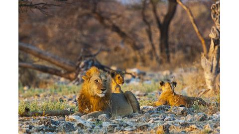 Marauding lions to be relocated