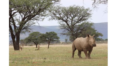 White rhino need to be down-listed