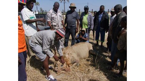 Stray lions kill two more cattle