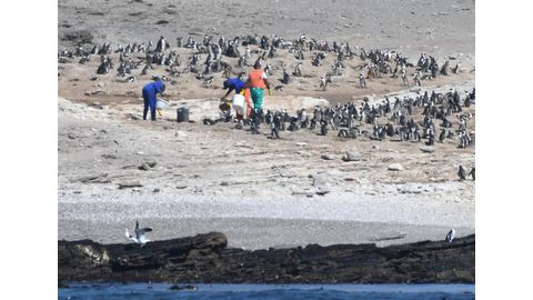 Penguins continue to die en masse