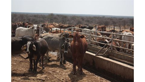 Beef measles on the increase in cattle